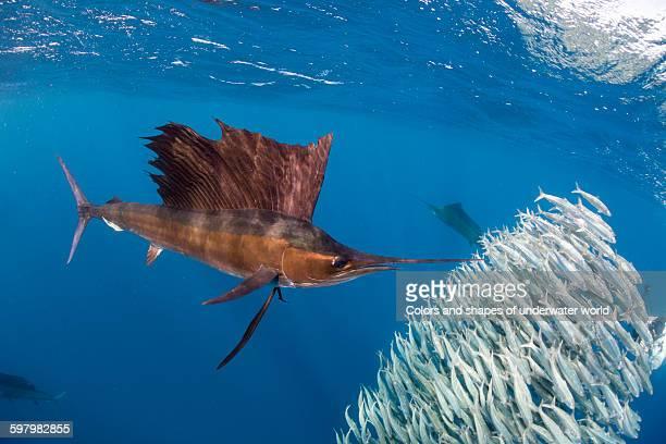Atlantic Sailfish hunting shoal of sardines