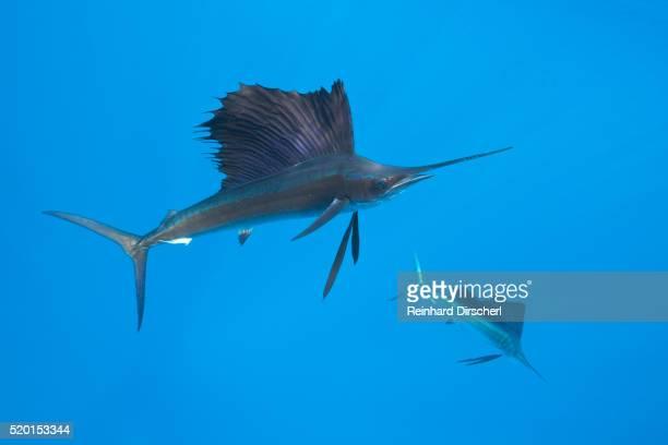 atlantic sailfish (istiophorus albicans), isla mujeres, yucatan peninsula, caribbean sea, mexico. - sailfish stock pictures, royalty-free photos & images