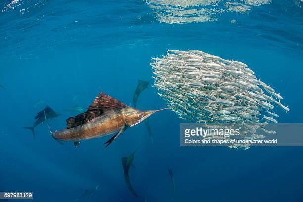atlantic sailfish on a fish hunt - sailfish stock pictures, royalty-free photos & images