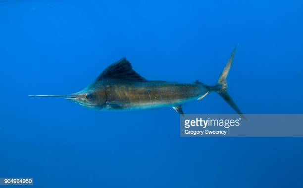 atlantic sailfish swimming in blue water - swordfish stock pictures, royalty-free photos & images