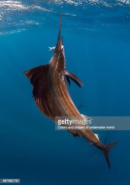Atlantic Sailfish with the fish