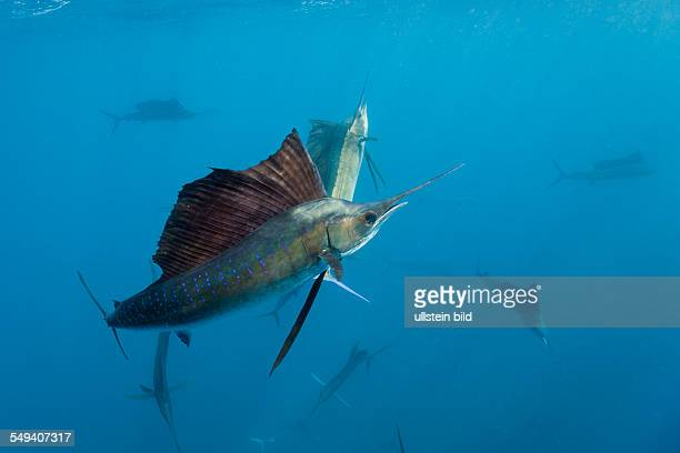 Atlantic Sailfishes, Istiophorus albicans, Islamorada, Florida Keys, Florida, USA