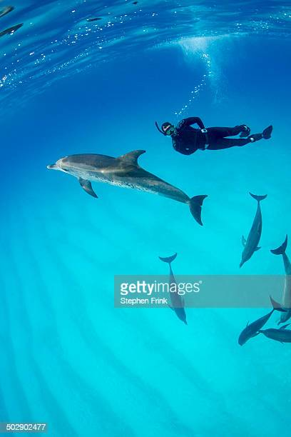 atlantic spotted dolphin (stenella frontalis) - bimini stock photos and pictures