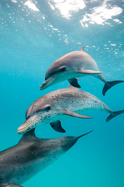 Atlantic spotted dolphin (Stenella frontalis)