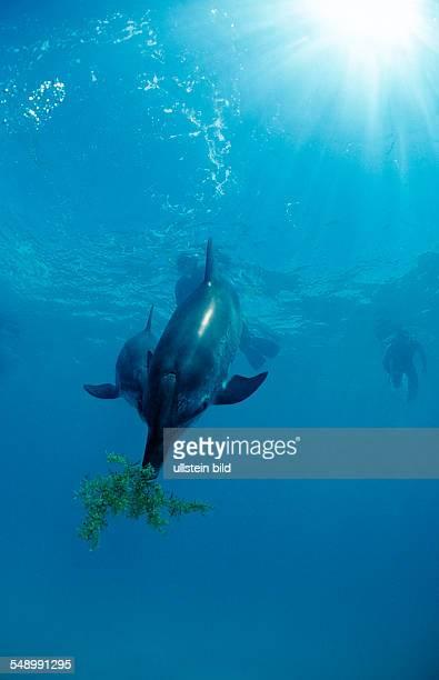 Atlantic spotted dolphin Stenella frontalis Bahamas Atlantic Ocean