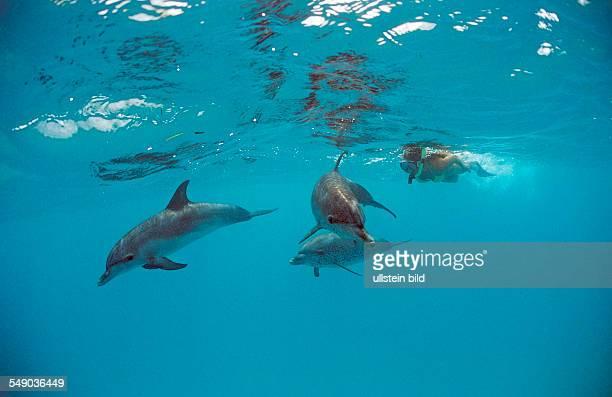 Atlantic spotted dolphin, Stenella frontalis, Bahamas, Atlantic Ocean