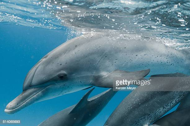 atlantic spotted dolphins - bimini stock photos and pictures