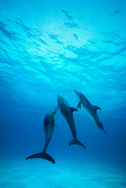 Atlantic spotted dolphins underwater
