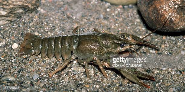 Atlantic stream crayfish or English freshwater whiteclawed crayfish Astacidae