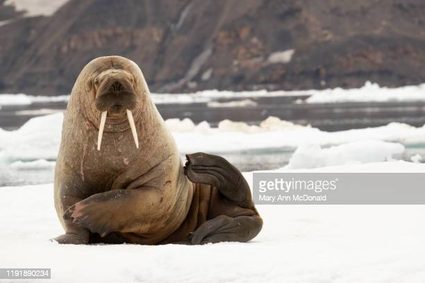 atlantic walrus - walrus stock pictures, royalty-free photos & images