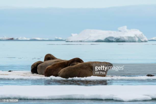 Atlantic walruses , Vibebukta, Austfonna, Nordaustlandet, Svalbard Islands, Norway..