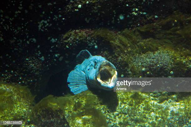 Atlantic wolffish / seawolf / Atlantic catfish / ocean catfish / devil fish / wolf eel underwater on the sea floor