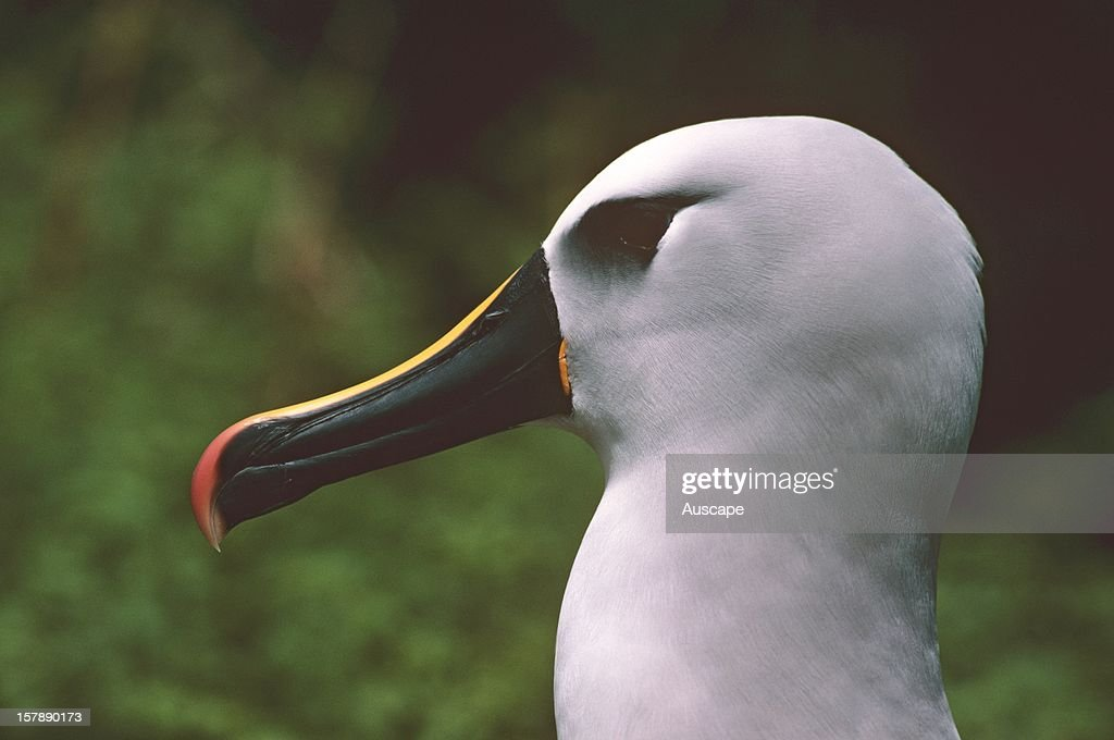Atlantic yellow-nosed albatross : Nachrichtenfoto