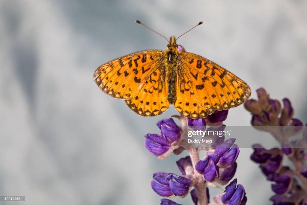 Atlantis Fritillary butterfly : Stock Photo