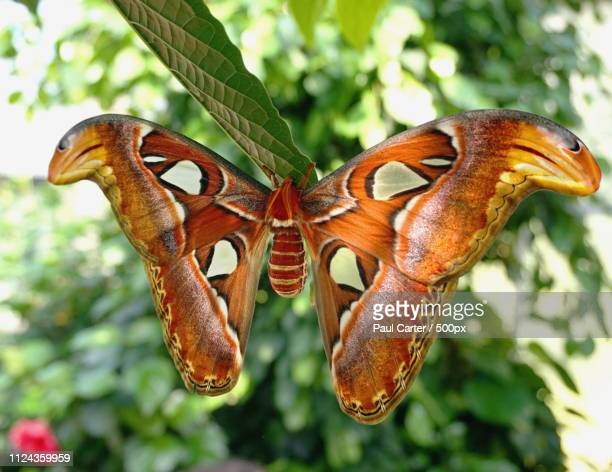 atlas moth attacus atlas - lily carter stock pictures, royalty-free photos & images