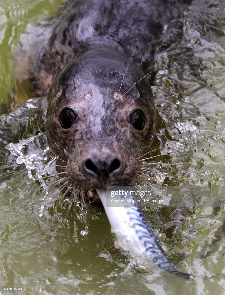 Atlas the seal pup eats a fish at the official opening of