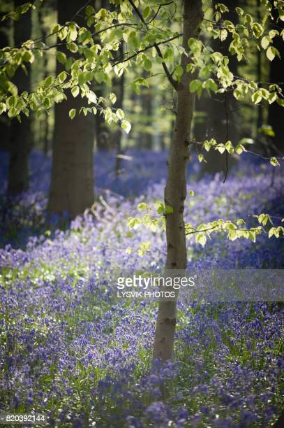 Atmospheric light in Forest with Bluebells