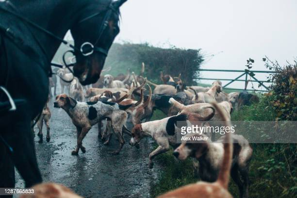 atmospheric scene of a large group of foxhounds and horses standing on country road in rain and fog. - hunting stock pictures, royalty-free photos & images