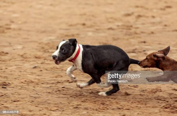 atrapame si puedes. - pit bull photos et images de collection