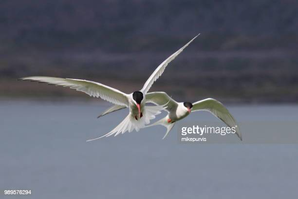 Attack of the Terns