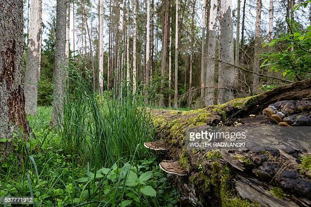 Attacked by woodwarms spruce trees are pictured in primaval parts of Bialowieza Forest on May 31 2016 near Bialowieza Today this peaceful haven is...