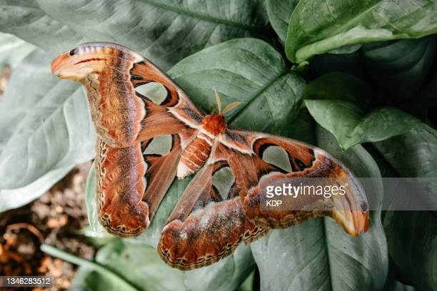 attacus atlas, atlas moth butterfly on the tree leaves. - biggest stock pictures, royalty-free photos & images