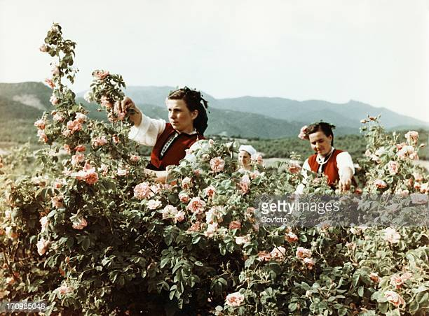 Attar of roses bulgarian women gathering roses for perfume in the valley of roses late 1950s