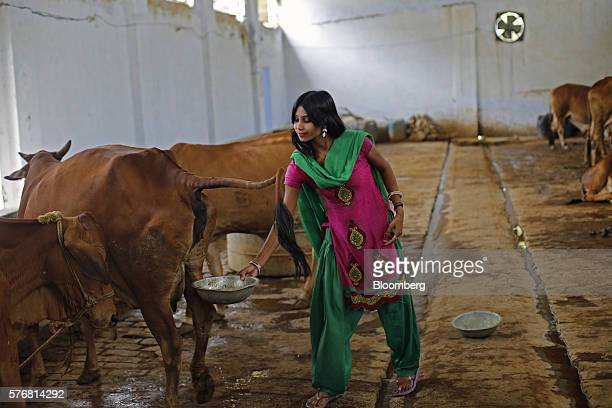 Attendant Susheela Kumari collects urine at a cow shelter where urine is processed in Bulandshahar Uttar Pradesh India on Friday June 17 2016 Urine...