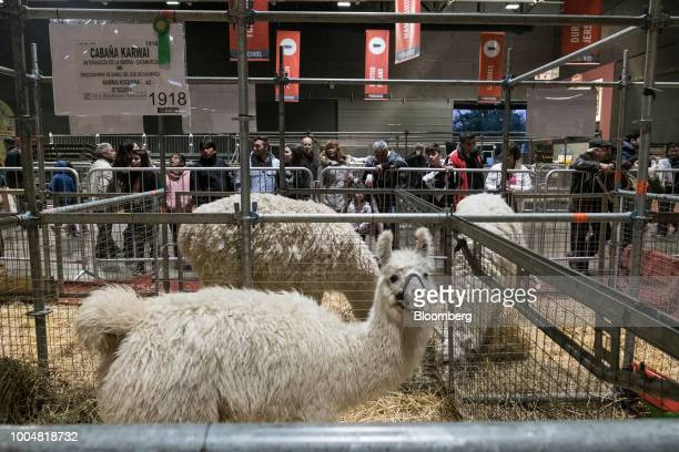 Attendees view llamas at the livestock pavilion during La Exposicion Rural agricultural and livestock show in the Palermo neighborhood of Buenos...
