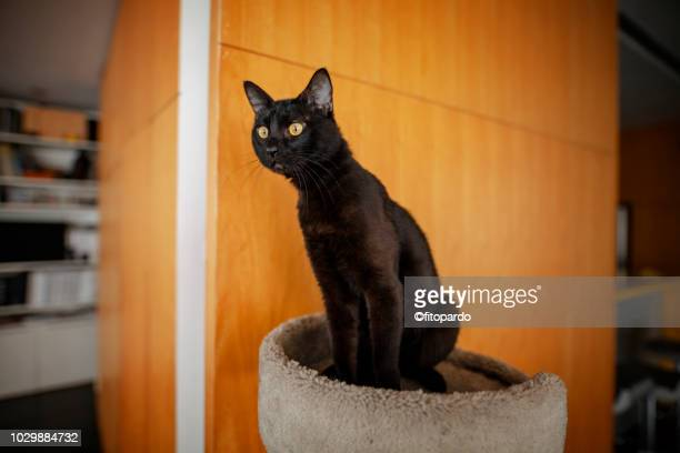 attentive black cat - mumbai stock pictures, royalty-free photos & images