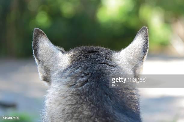 attentive dog ears