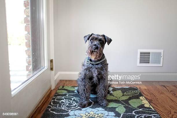attentive dog waits to go outside - head cocked stock pictures, royalty-free photos & images