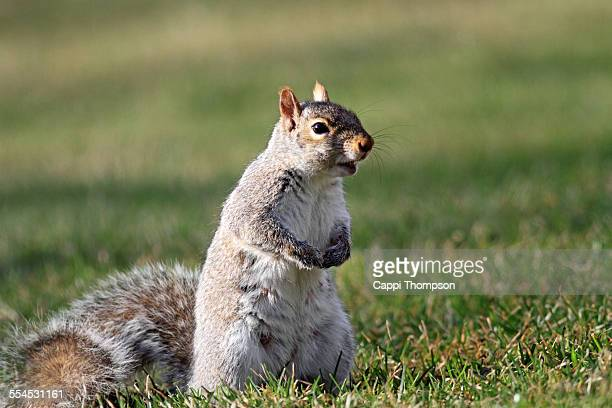 attentive gray squirrel - eastern gray squirrel stock photos and pictures