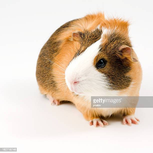 attentive guinea pig - guinea pig stock pictures, royalty-free photos & images