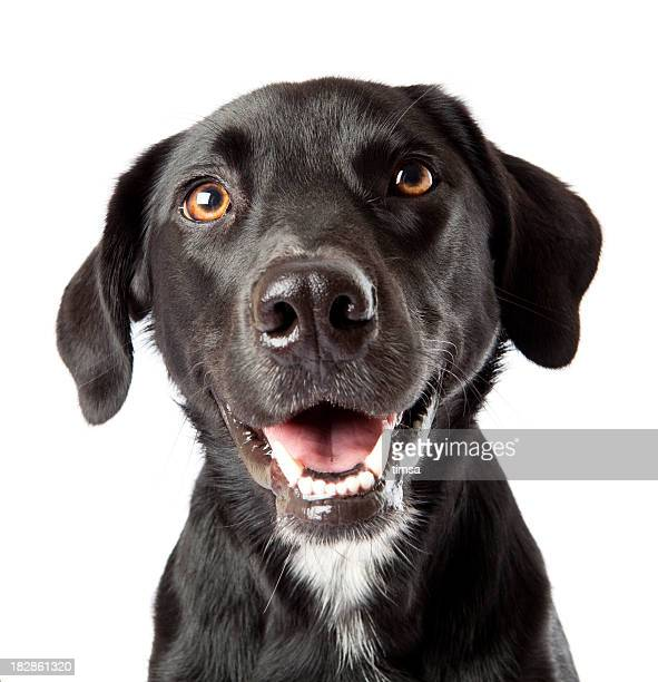Attentive happy black dog looking intently at treat off camera