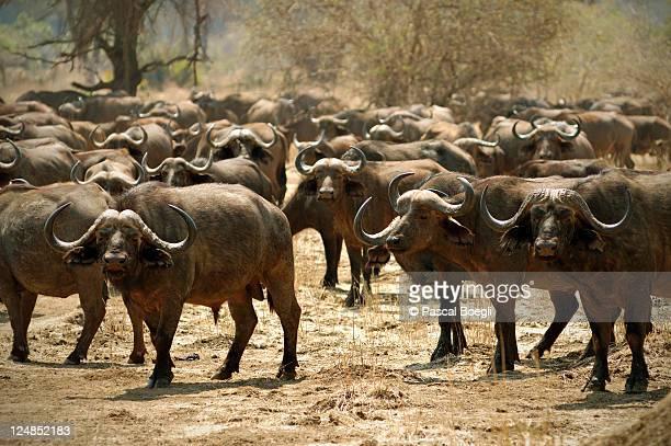 Attentive herd - Lower Zambezi national park