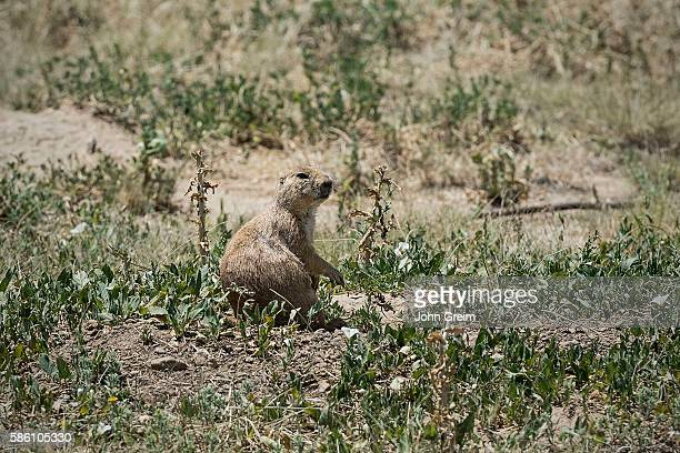 Attentive prarie dog