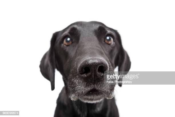 attentively dog - labrador noir photos et images de collection