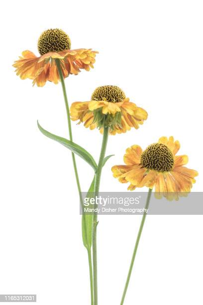 attractive vibrant orange flowers of the helenium plant, also known as sneezeweed. - mandy pritty stock pictures, royalty-free photos & images