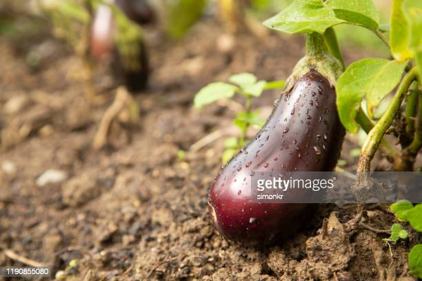 aubergine growing in farm. - eggplant stock pictures, royalty-free photos & images