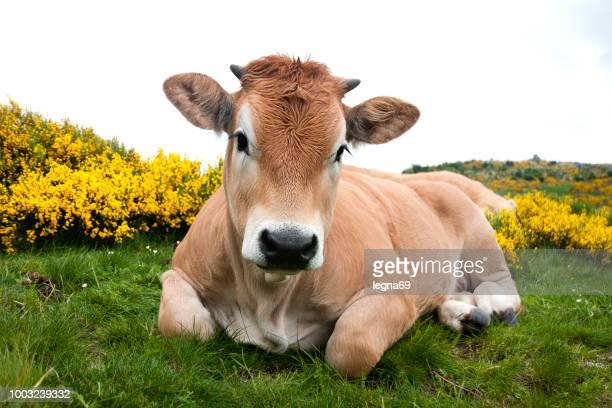 aubrac cow with flowering broom in mont lozère - france - calf stock pictures, royalty-free photos & images