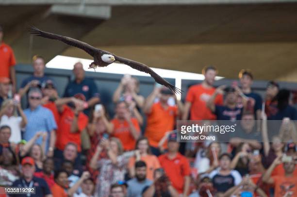 Auburn Tigers bald eagle Spirit flies prior to their game against the Alabama State Hornets at JordanHare Stadium on September 8 2018 in Auburn...