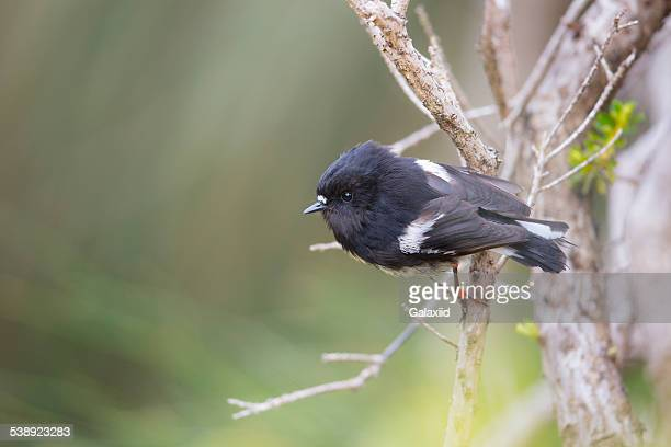 auckland island tomtit (petroica macrocephala) - sub antarctic islands stock photos and pictures