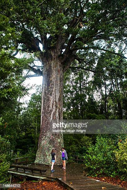Auckland, New Zealand. The famous McKinney Kauri tree in Parry Kauri Park outside of Warkworth, North Island, New Zealand. The tree is over 800 years old.