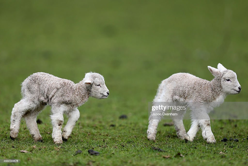 Auckland welcomes new born lambs at Cornwall Park on August 6, 2014 in Auckland, New Zealand. The daffodils and lambs indicate that Spring is making an early appearance in Auckland.