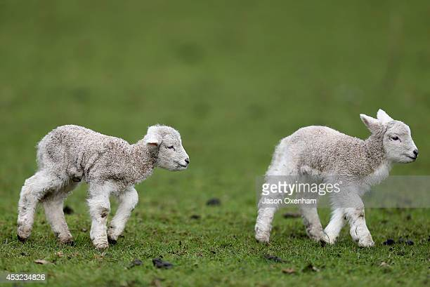 Auckland welcomes new born lambs at Cornwall Park on August 6 2014 in Auckland New Zealand The daffodils and lambs indicate that Spring is making an...