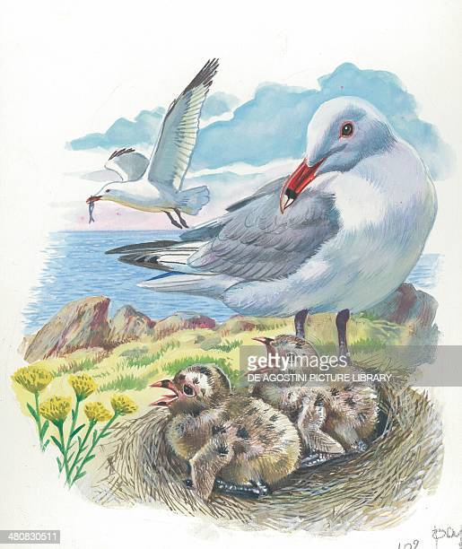 Audouin's Gull with chicks in the nest illustration