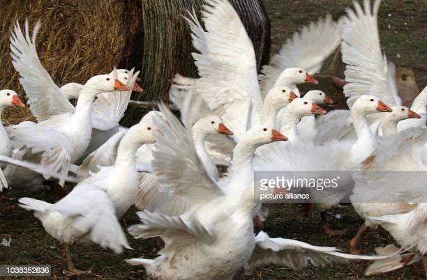 ARCHIV Auf dem Hof Walden in Saal sind am Gänse im Freien unterwegs Die Vogelgrippe mit dem hochgefährlichen Erreger H5N8 hat sich nach Ansicht des...