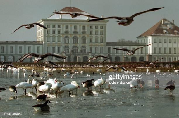 Auf dem zugefrorenen Kanal vor dem Nymphenburger Schloß in München tummeln sich am zahlreiche Wasservögel. In den nächsten Tagen soll das Wetter kalt...