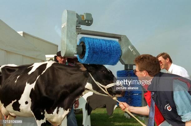 Auf der 47 norddeutschen landwirtschaftlichen Fachausstellung Norla in Rendsburg wurde diese Trockenwaschanlage für Kühe vorgestellt Die...